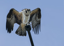Young Wild Osprey Sitting On M...