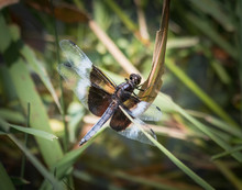 A Widow Skimmer Dragonfly At Rest