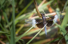 A Widow Skimmer Dragonfly At Rest Along A Verdant Lakeshore