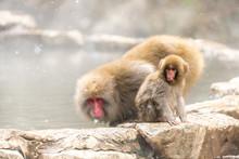 Viewing Of Monkeys Enjoying Th...