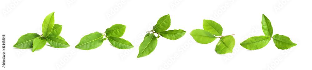 Fototapeta Set of fresh green tea leaves on white background. Banner design