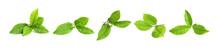 Set Of Fresh Green Tea Leaves ...