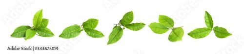 Obraz Set of fresh green tea leaves on white background. Banner design - fototapety do salonu