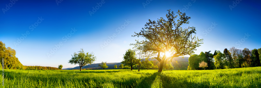 Fototapeta The sun shining through a tree on a green meadow, a panoramic vibrant rural landscape with clear blue sky before sunset