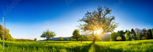 Fototapeta The sun shining through a tree on a green meadow, a panoramic vibrant rural landscape with clear blue sky before sunset obraz