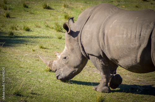 white rhinoceros in zoo Tapéta, Fotótapéta