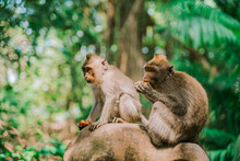 Two Monkeys Sit On A Rock Against The Background Of The Jungle And Eat Something. Monkeys In Their Natural Habitat. The Monkey Forest In Ubud Is The Most Popular Tourist Destination In Ubud, Bali