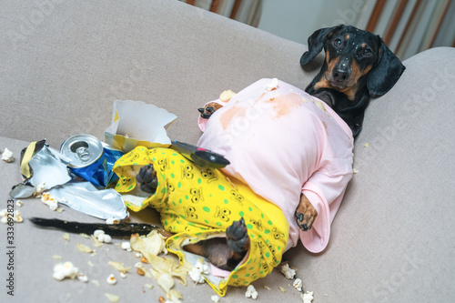 Fototapeta fat dog couch potato eating a popcorn, chocolate, and watching television. obraz