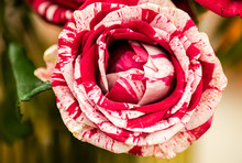 Closeup Image Of Beautiful Flowers Wall Background With Amazing Red And White Frou Frou Roses Retro Filter.