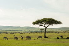Zebras On The Savannah African...