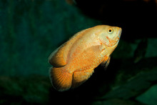 TIGER OSCAR FISH Astronotus Ocellatus      ,