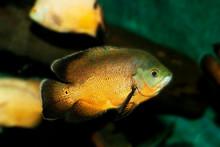TIGER OSCAR FISH Astronotus Ocellatus      .