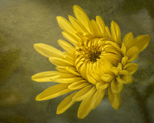 Macro Of Partially Bloomed Yellow Mum On Textured Background