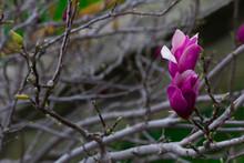Fiore Di Magnolia X Soulangeana Di Colori Brillanti Fiorendo Sotto Il Sole Di Primavera Sulla Pianta Grigia