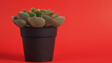 Artificial Cactus Plants Or Plastic Or Fake Tree On Red Background.