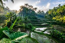 Le Risaie Balinesi A Ubud