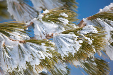 Pine Tree Branch Is Under The Snow