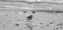 Vendée: Plover With Interrup...