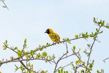 Southern Masked Weaver Ploceus Velatus