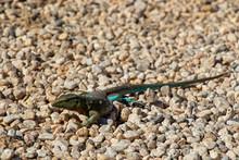 Green Lizard On Stone Ground On Curacao