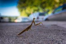 Mantis Religiosa On The Street...