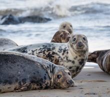 Group Of Seals Lying On Sandy Beach