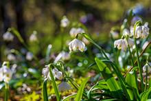 Märzenbecher - Blume - Frühl...