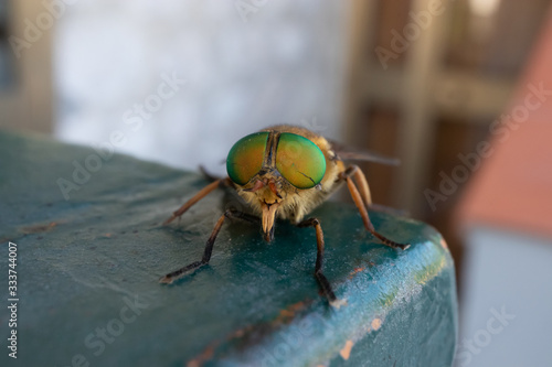 Photo a green-eyed fly