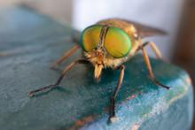 A Green-eyed Fly. Philipomyia ...