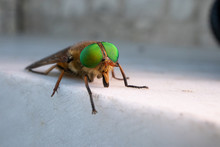 A Green-eyed Fly. Philipomyia ...