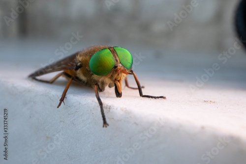 a green-eyed fly Canvas Print