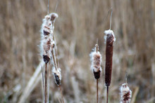 Cattails Growing At Pond Swamp.