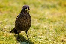 Close Up Of Female Blackbird W...
