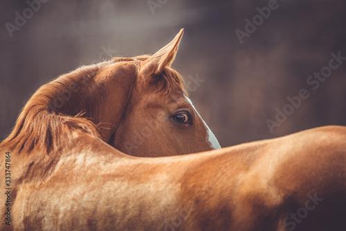 Fototapeta portrait of beautiful stunning chestnut budyonny gelding horse looking from behi