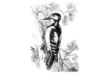 GREAT SPOTTED WOODPECKER (Dend...