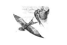 BARN SWALLOW (Hirundo Rustica) - Vintage Engraved Illustration 1889
