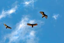Turkey Vulture, Sierra Nevada
