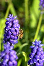 Honey Bee On Grape Hyacinth