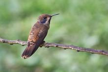 Small Hummingbird Posing On A Horizontal Branch