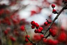 Red Berries Of Viburnum On A B...