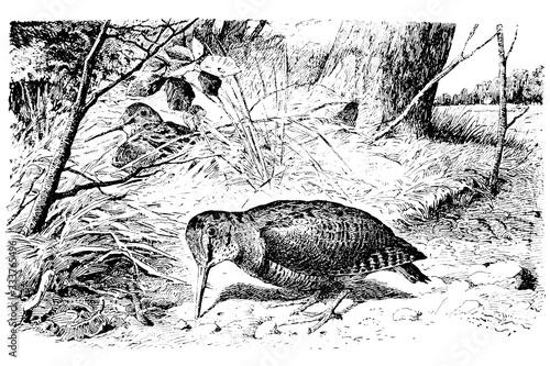 Fotografia EURASIAN WOODCOCK (Scolopax rusticola) - Vintage Engraved Illustration 1889
