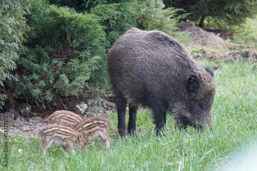 Dziki ,locha z młodymi ,ssaki ,młode dziki z mamą  - fototapety na wymiar