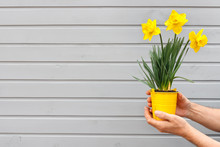 Seedlings Of Young Beautiful Daffodils And Tulips In Pot. Hands Of Man Holding Flowers On Background Of Gray Wooden Wall.