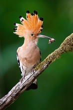 Alert Eurasian Hoopoe, Upupa Epops, Sitting On A Diagonal Moss Covered Twig From In Green Summer Forest. Enchanting Wild Bird With Open Crest Holding A Maggot In Beak. Animal Wildlife In Nature.