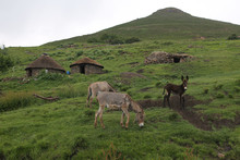 Donkeys In Front Of A Basotho House On A Green Grass In Lesotho, Africa.