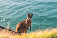 Wallaby By The Ocean, Byron Ba...