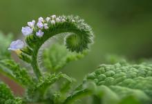 Heliotropium Indicum Or Indian...