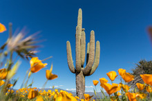 Saguaro Cactus Surrounded By Orange Poppies Flowers In The Desert