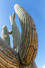 Low Point Of View Below A Saguaro Cactus Looking Up Into The Sky