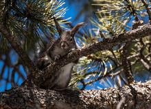 An Abert's Squirrel In A Ponderosa Pine Tree